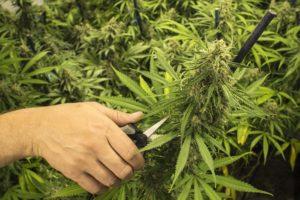 harvest weed